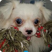 Adopt A Pet :: Simon - Lincolnwood, IL