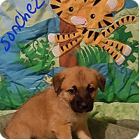 Adopt A Pet :: Sonchez - Sussex, NJ