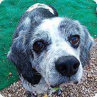 Adopt A Pet :: Amelia - New River, AZ