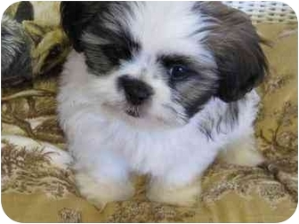 Shih Tzu Puppy for adoption in Conroe, Texas - Teddy Bear