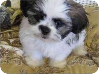 Teddy Bear Adopted Puppy Conroe Tx Shih Tzu