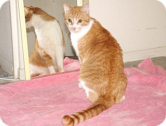 Domestic Shorthair Cat for adoption in Scottsdale, Arizona - Monte