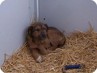 Welsh Terrier/Rottweiler Mix Puppy for adoption in Chewelah, Washington - Birch