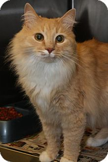 Maine Coon Cat for adoption in East Hanover, New Jersey - Simba