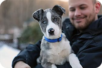 Catahoula Leopard Dog/Labrador Retriever Mix Puppy for adoption in Richmond, Virginia - Murphy