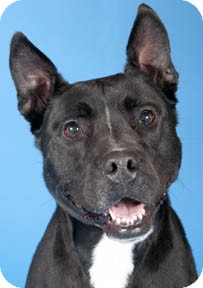 Labrador Retriever/American Staffordshire Terrier Mix Dog for adoption in Chicago, Illinois - Dunkin