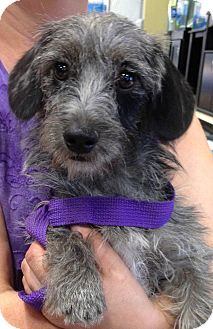 Terrier (Unknown Type, Medium)/Dachshund Mix Dog for adoption in Phoenix, Arizona - Camille
