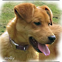 Adopt A Pet :: Molly - Courtesy Posting - Cheshire, CT