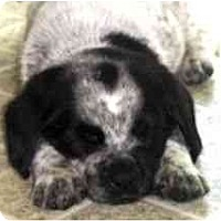 Adopt A Pet :: Piccalilli - Novi, MI