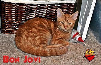 Domestic Mediumhair Cat for adoption in Surprise, Arizona - Bon Jovi
