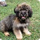 Adopt A Pet :: PUPPY CASANOVA