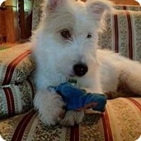 Adopt A Pet :: Anishka - Austin, TX