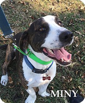 Basset Hound/Beagle Mix Dog for adoption in Batesville, Arkansas - Miny