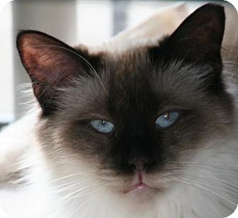 Siamese Cat for adoption in Colorado Springs, Colorado - Sonya