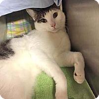 Adopt A Pet :: Ben - Merrifield, VA