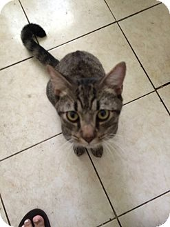 Domestic Shorthair Cat for adoption in Tampa, Florida - Bruno