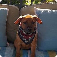 Adopt A Pet :: Nala - Toluca Lake, CA