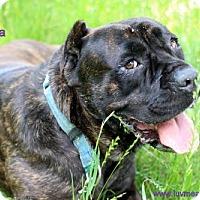 Adopt A Pet :: Zaira - Bloomington, MN