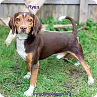 Beagle/Dachshund Mix Dog for adoption in Bloomington, Minnesota - Ryan