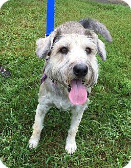 Standard Schnauzer Mix Dog for adoption in Asheville, North Carolina - Lily