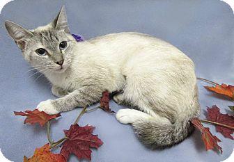 Siamese Cat for adoption in Lexington, North Carolina - IVANA