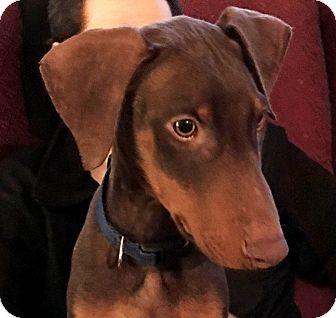 Doberman Pinscher Mix Puppy for adoption in Bowie, Maryland - Joey