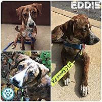 Adopt A Pet :: Eddie - Kimberton, PA