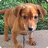 Adopt A Pet :: Buck - New Oxford, PA