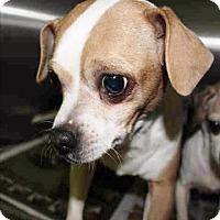 Adopt A Pet :: Chester - Encino, CA