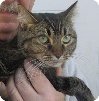 Bengal Cat for adoption in Germantown, Maryland - Dawn (Nala)
