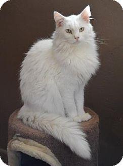Domestic Shorthair Cat for adoption in Tucson, Arizona - Rollie