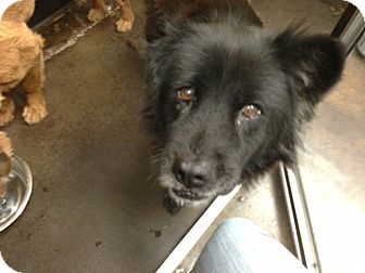 Retriever (Unknown Type)/Chow Chow Mix Dog for adoption in San Diego, California - Ivy URGENT