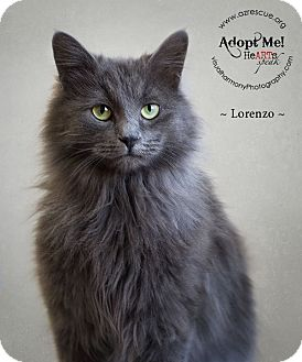 Domestic Longhair Cat for adoption in Phoenix, Arizona - Lorenzo