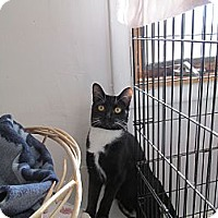 Domestic Shorthair Cat for adoption in Corinth, New York - Mia