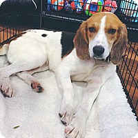 Adopt A Pet :: Gracie *adoption pending* - Manassas, VA