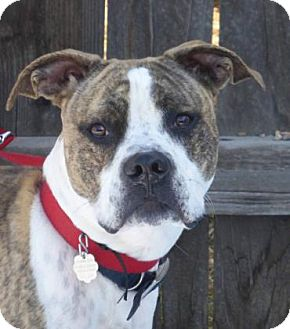 Pit Bull Terrier Mix Dog for adoption in Evans, Colorado - Dozer