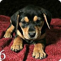 Adopt A Pet :: Clara Belle - Lufkin, TX