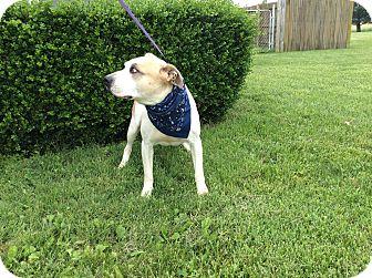 German Shepherd Dog/Pit Bull Terrier Mix Dog for adoption in Oak Grove, Kentucky - Mongo