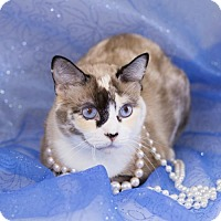Adopt A Pet :: Bertha the Siamese Mix - Oviedo, FL