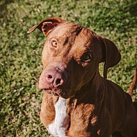 Adopt A Pet :: Samson- Professionally Trained - Houston, TX