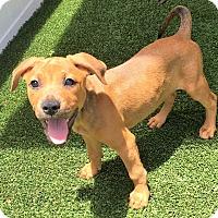 Adopt A Pet :: Henna - Ft. Lauderdale, FL