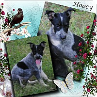 Adopt A Pet :: Hooey - Crowley, LA
