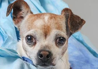 Chihuahua Dog for adoption in Colorado Springs, Colorado - Dudley