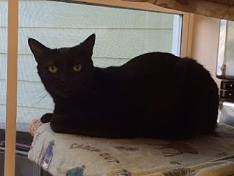Domestic Shorthair Cat for adoption in Pompano Beach, Florida - Shadow