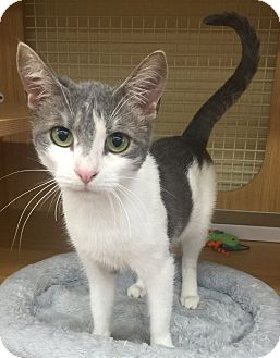 Domestic Shorthair Cat for adoption in Summerville, South Carolina - Pudding