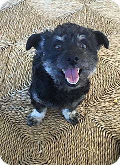 Poodle (Standard)/Lhasa Apso Mix Dog for adoption in La Habra Heights, California - Crissy