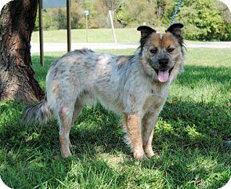 Australian Shepherd/Australian Cattle Dog Mix Dog for adoption in Parsons, Kansas - Soldier