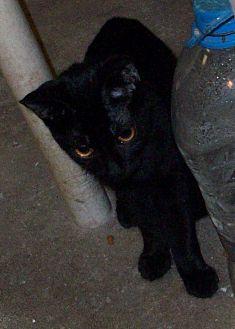 Domestic Shorthair Kitten for adoption in Morriston, Florida - Blacky