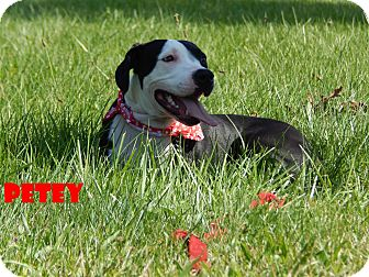 American Staffordshire Terrier Mix Dog for adoption in Bucyrus, Ohio - Petey