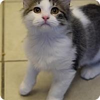 Adopt A Pet :: Matisse - DFW Metroplex, TX
